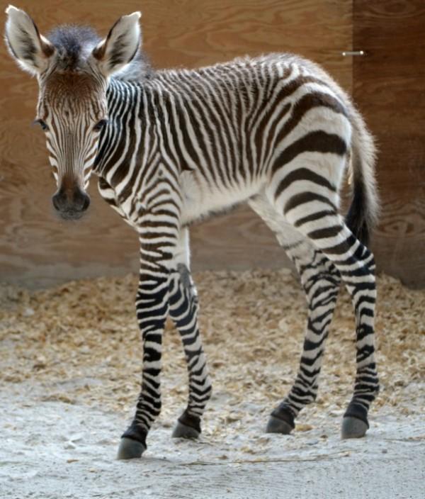 Prima the baby zebra